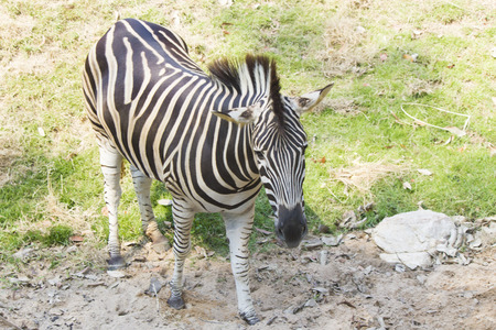 nibble: Zebras in a zoo peacefully nibble a grass on a clearing Stock Photo