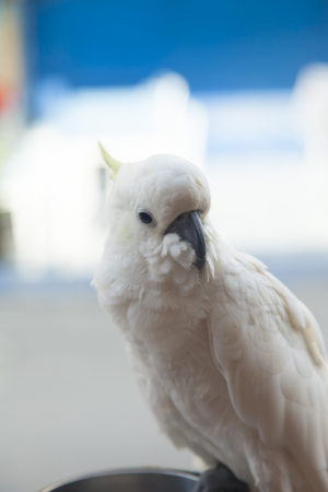 sadly: The big white parrot sits on a pole and sadly looks at people