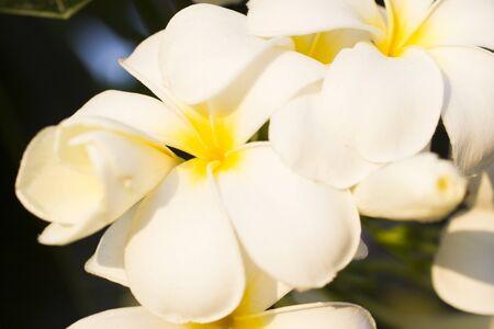 tahiti: Beautiful tropical flowers blossom on pleasure to all people