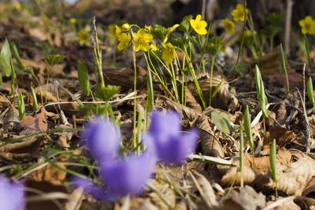 pleasing: The first spring flowers are pleasing to the eye in the spring wood
