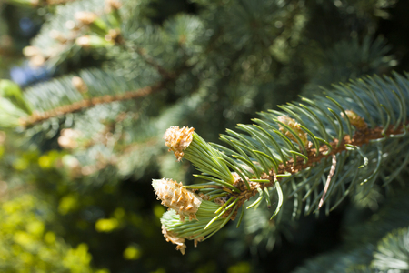 dismissed: Young escapes on a fir-tree were dismissed under the bright spring sun