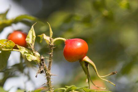野生の dogrose の果実はほぼ保たれている、葬られるときを待つ