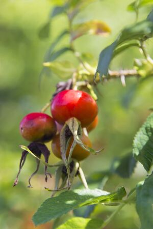 Berries of a wild dogrose have almost kept up and wait when they are gathered Stock Photo