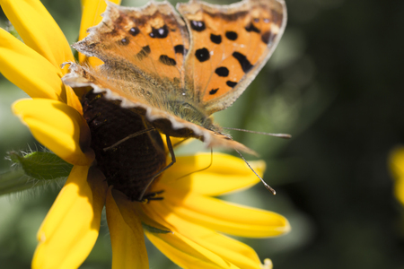 nymphalidae: The butterfly on a flower collects nectar and pleases people