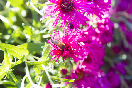 starve: The bee on a flower collects nectar not to starve in the winter Stock Photo