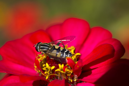 The bee on a flower collects nectar not to starve in the winter Stock Photo