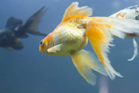 freshwater clown fish: Small fishes in an aquarium swim in search of food Stock Photo