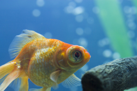 Small fishes in an aquarium swim in search of food Stock Photo