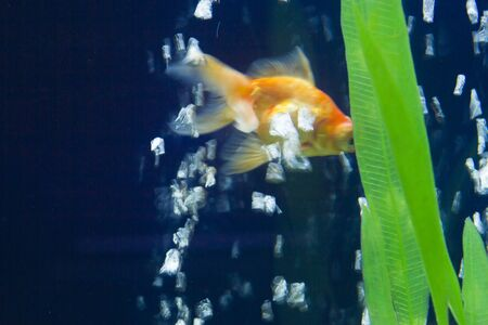 cichlid: The small fish in an aquarium swims in search of food