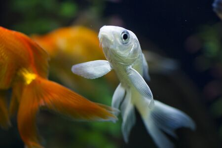 The small fish in an aquarium swims in search of food