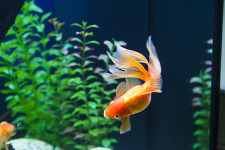 Small fishes in an aquarium swim one after another Stock Photo