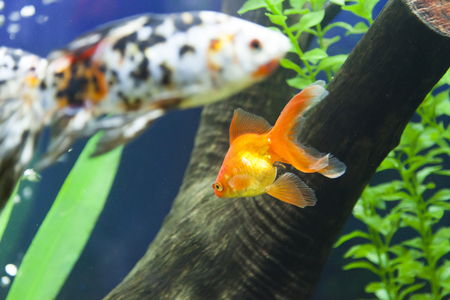 cichlid: Small fishes in an aquarium swim one after another Stock Photo