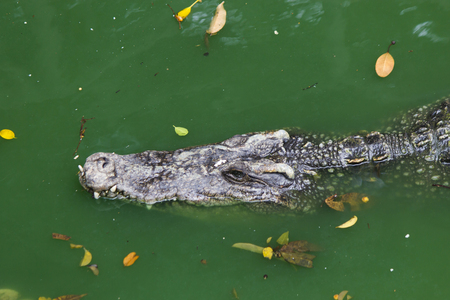 white nile: Crocodiles on hunting look absolutely safe, but are scary dangerous Stock Photo