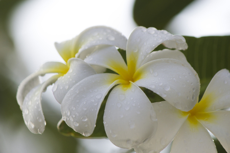 peddle: Beautiful white tropical flowers after a heavy rain