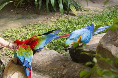 The beautiful big parrot allows to feed himself and to admire itself Stock Photo