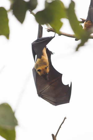 Flying foxes hang on a tree and sleep before night Stock Photo