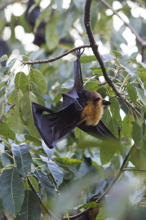 pteropus: Flying foxes hang on a tree and sleep before night Stock Photo