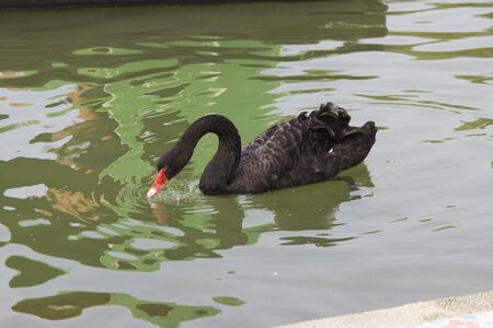 The black swan on a pond floats on the affairs Stock Photo