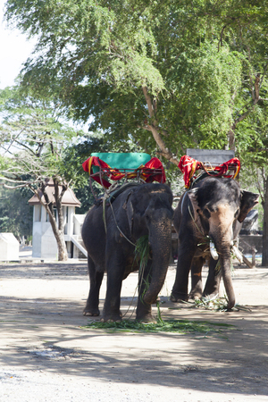 Elephants walk before preparing for the reception of riders 写真素材