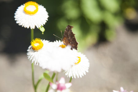 The butterfly on a flower collects nectar and pollinates it