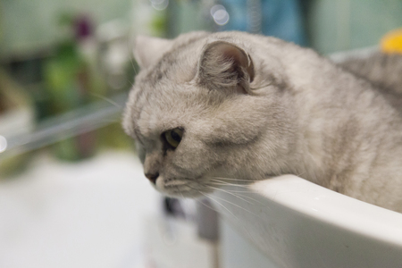 The gray British cat sits in a sink
