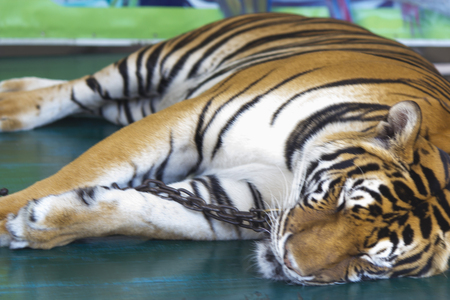 The beautiful captured tiger lies and thinks of the