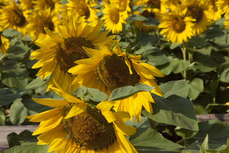 Sunflowers rejoice to the sun and turn after it Imagens