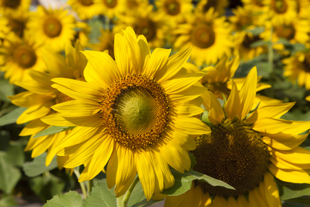Sunflowers rejoice to the sun and turn after it Banco de Imagens