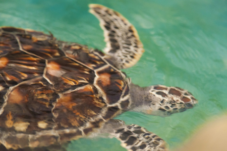 The turtle in water floats very slowly somewhere Stock Photo