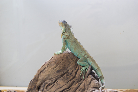 The lizard sits and looks at us the hypnotizing look