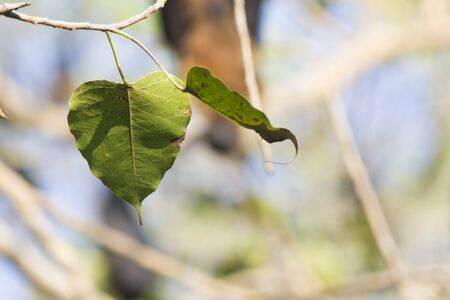 Two green leaflets hang on a tree in the summer