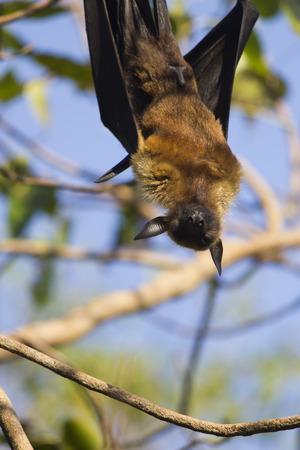 The terrible flying fox hangs headfirst and sleeps