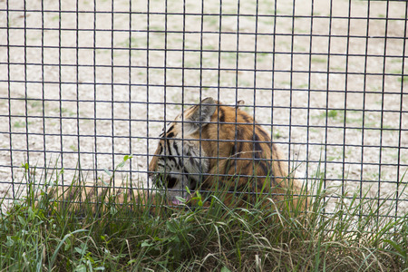 The tiger behind bars very much grieves for will 版權商用圖片