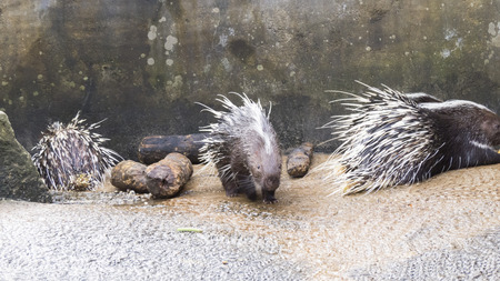 Porcupines in a zoo either sleep, or go in search of food Stock Photo