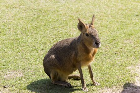 Large Patagonian hare sits on green grass in mountains 版權商用圖片