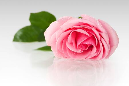 Pink rose with drops on the petals lying on the water