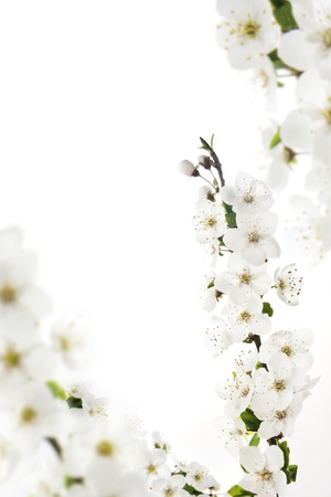 isolated branch of cherry blossoms Stock Photo