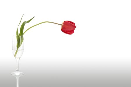 Tulip in a glass, side view