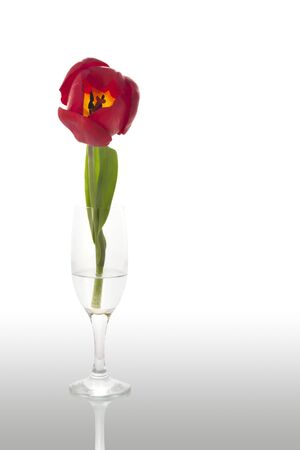 Tulip in a glass, front view