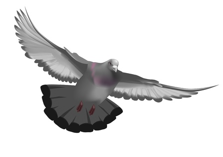 Pigeon, flying in the sky with my wings Vector