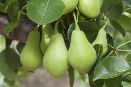 Several green pears on the tree