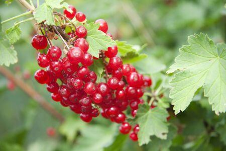 Bush of ripe, red currants Stock Photo
