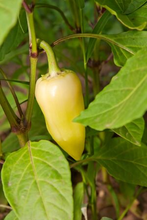 Yellow peppers, growing on a bush in the garden