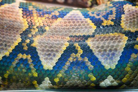 pythons: Close-up of adult skin boa.