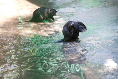 pelt: Two beaver washes on the shore of the lake.