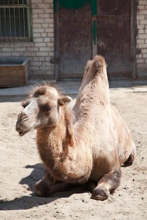 munching: Sitting, munching camel