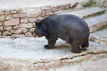 Large, adult bear in a zoo.