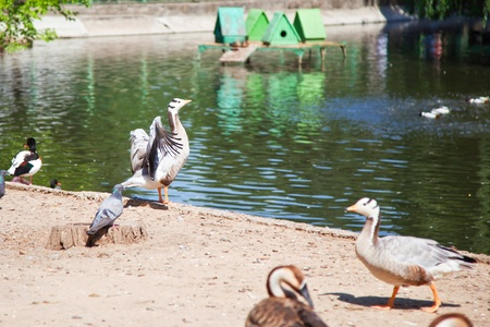 Ducks and geese on the lake at the zoo. photo