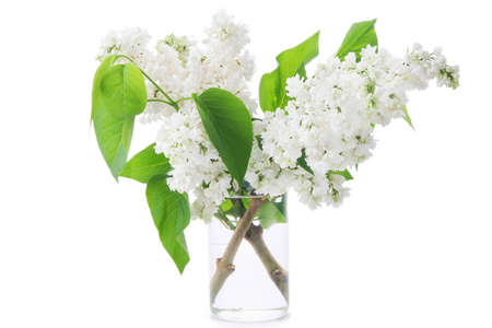 Bouquet of white lilac on a white background  Stock Photo