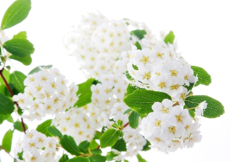 Spring blooming hawthorn on a white background